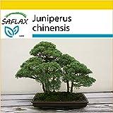 SAFLAX - Anzucht Set - Bonsai - Chinesischer Wacholder - 30 Samen - Juniperus chinensis
