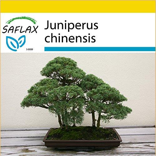 Galleria fotografica SAFLAX - Set per la coltivazione - Ginepro cinese - 30 semi - Juniperus chinensis