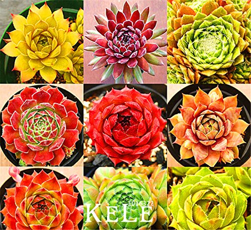 Bestseller Start Gartenpflanze 10 Samen Seltene Sempervivum Mix Sukkulenten Samen Blumen für Zimmer, Bonsai Topfpflanzen * Geschenk, # EJ1RK