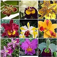 FARMERLY Las Semillas orgánicas: Cattleya: 4 en Vivo de orquídeas para Elegir (Cattleya, Oncidium, Vanda, Dendrobium, Phaenop