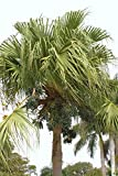 Portal Cool Livistona Chinensis J esotico cinese raro Palma nana Palms Seed 25 semi