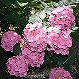 Bauernhortensie Belle Seduction® 40-60cm - Hydrangea macrophylla