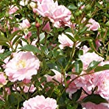Rosa 'The Fairy' - Rosier paysager rose - Rosier buisson polyantha à fleurs do
