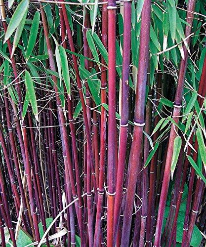 Willemse France 5863, Bambou à cannes rouges, le Bambou des pandas, Multicolore, 63 x 1 x 1 cm