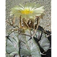 Astrophytum niveum seeds