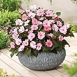 lichtnelke - Sonnenlieschen (Impatiens x hybrida) SunPatiens® Compact Blush Pink