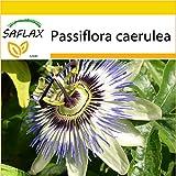 SAFLAX - Anzucht Set - Blaue Passionsblume - 25 Samen - Passiflora caerulea