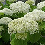 Ballhortensie 'Strong Annabelle' - Incrediball®