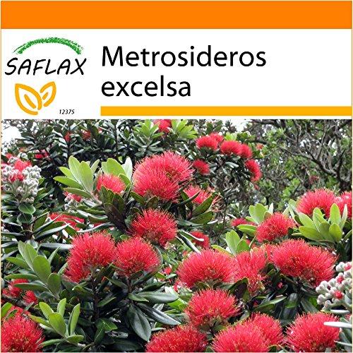 Galleria fotografica SAFLAX - Garden in the Bag - Albero di Natale della Nuova Zelanda - 300 semi - Metrosideros excelsa