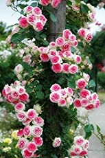 IRIS GARDENS Rare Grafted Pink White Double Climbing Rose perinnial Flower 1 Healthy Live Plant