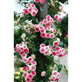 CATTERPILLAR FARM® Rare Grafted Pink White Double Climbing Rose perennial Flower 1 Healthy Live Plant