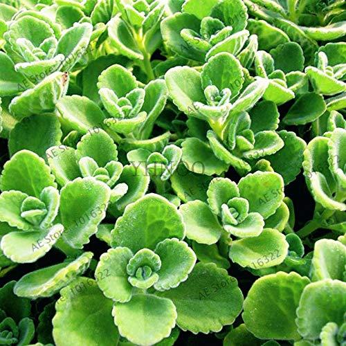 Pinkdose 100pcs / bag Cuban Oregano Garten, Spanisch mexikanisches Thymian Bonsai Pflanze Gewürz Würzen Küche Gemüse flores Reich Aroma (Mexikanischer Oregano Pflanze)