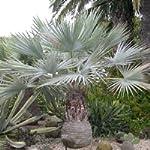 Brahea armata (Palma) - 10 semi