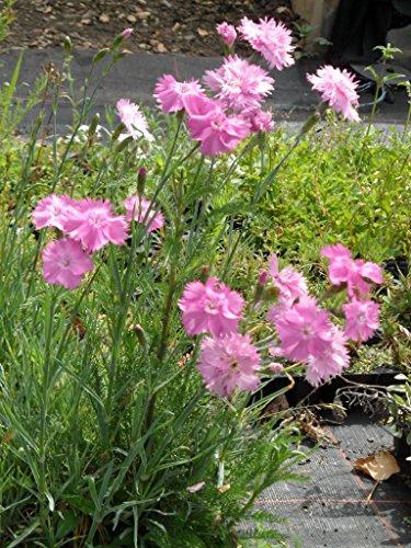 Dianthus plumarius flora plena Roseus - Gefüllt blühende rosa Federnelke, 50 Pflanzen im 5/6 cm Topf