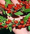 """Goji""""Sweet Lifeberry"""",1 Pflanze von Baldur-Garten - Du und dein Garten"""