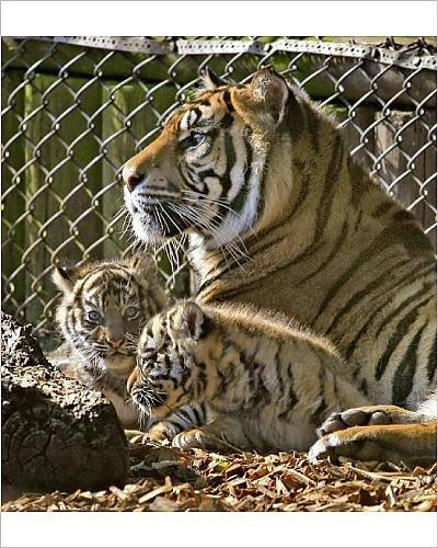 Media Storehouse 20x16 Print of Rare Sumatran tiger cubs at Chessington World of Adventures (1040496)