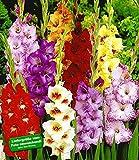 BALDUR-Garten Gladiolen-Mischung,100 Zwiebeln Gladiolus 100 Stück zum Sonderpreis