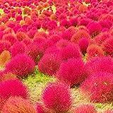 UPSTONE Garten - Exotic Sommerzypresse Saatgut Bodendecker samen Ziergras, essbare wildpflanzen Besenkraut samen, Bonsai Samen Bassia scoparia winterhart mehrjährig (200, Rot)