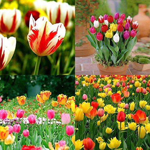 cioler seme di fiore- 100pcs semi di tulipano arcobaleno bulbi giardino fiori ornamentali fiore pianta sementi