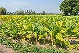 Tabak Samen Virginia Sorte - Die meisten aromatischen