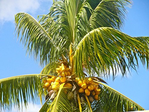 Farmerly Coconut (Yellow) Exotic Plant Palm Tree Cocos Nucifera Ready to Pot, 1 Live Seed
