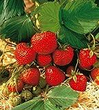 Erdbeere Mieze Schindler®. 8 Stück+2 Senga Sengana®. im Torftopf - zu dem Artikel bekommen Sie gratis ein Paar Handschuhe für die Gartenarbeit dazu