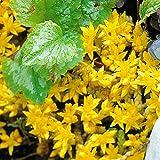 Scharfer Mauerpfeffer - 12 pflanzen