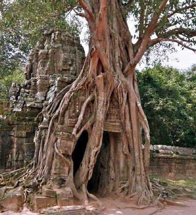 Seedeo Bengalische Würgefeige (Ficus benghalensis) 100 Samen