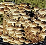 Shiitake-Pilz 370 (Lentinula edodes) Myzel Spores Spawn getrocknete Samen (10 g)