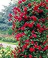 """Rote Kletterrose - Rose """"Paul's Scarlet Climber"""" - 50-60cm im 2Ltr. Topf … von GardenPalms auf Du und dein Garten"""