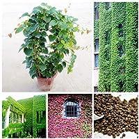Pinkdose Green Boston Ivy Bonsai Plantas para exteriores Casi sin cuidado Planta trepadora decorativa 100% verdadera Parthenocissus Tricuspidata 50PCS: MEZCLA