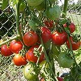 10 Samen Lukullus Tomate - aromatische Cocktailtomate, ertragreich
