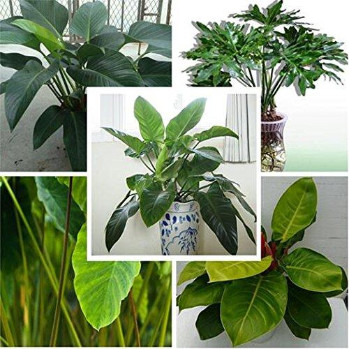 Nuovo di zecca! 100 semi filodendro 10 tipi multi-colori Pianta semi ad alta germinazione fai da te Semi Garen perenne fioritura delle piante