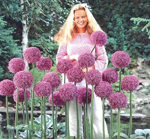 30pcs / sac géant oignon (Allium giganteum) graine rare bonsaï belle fleur plantes en pot de fleurs jardin orange Livraison gratuite