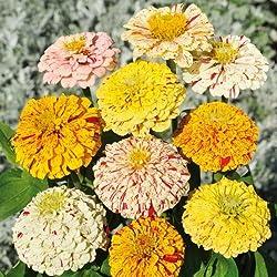 Sperli Blumensamen Zinnien Peppermint, grün