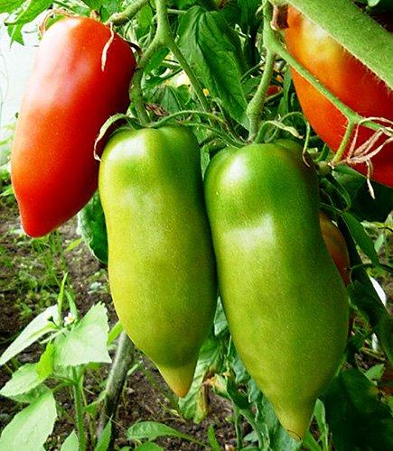 Tomaten Jersey Giant - 15 Samen (Tomaten Jersey)