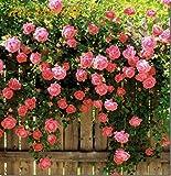 #8: M-Tech Gardens Rare Exotic Pink Climber Rose Flower Live Plant