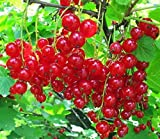 Blumen-Senf Rote Johannisbeere 'Jonkheer van Tets' 55 cm