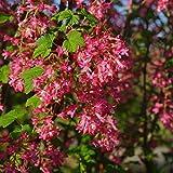 Dominik Blumen und Pflanzen, Zierjohannisbeere, Ribes sanguineum, rosa-rot blühend, 1 Strauch, 3 Liter Container, 30 -  50 cm hoch, plus 1 Paar Handschuhe gratis