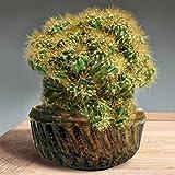 Felsenkaktus - 1 kaktus