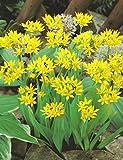 20 ALLIUM MOLY (LILY LEEK / GOLDEN GARLIC) BULBS FOR BORDER PATIO ROCKERY GARDEN PERENNIAL PLANT - Dstubbs Sales - amazon.co.uk