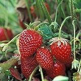 Dominik Blumen und Pflanzen, Erdbeere