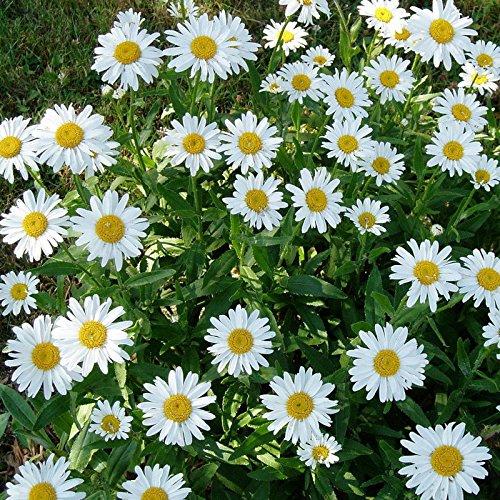 20 graines semence chrysanthème des près a grandes fleurs blanche et jaune fleurs vivace