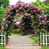 Keland Garten - Kletterrosen Samen winterhart mehrjährig 100pcs Rambler-Rose Rank- und Kletterpflanzen für Wände, Zäune, Fasaden,Rosenbögen und Pergolen (rosa 1)