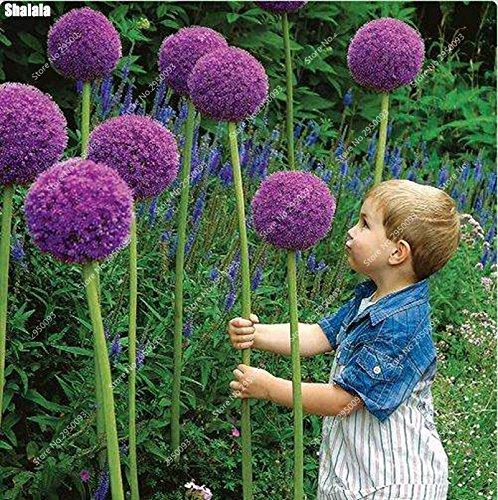 50pcs / sac exotique graines d'oignon géant Allium Pas Bulbes arc-Bonsai Fleurs de jardin en pot plante facile à cultiver