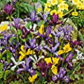Frühlings-Zwerg-Iris-Mischung von Gärtner Pötschke auf Du und dein Garten