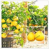 AGROBITS 50 / bag Hardy Mini Pummello elo albero ello Dwarf kao Pan di pompelmo! Pianta rara Bonsai di frutta per il giardino di casa