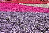 Staude Polsterphlox Mischung - 4 Stück -phlox subulata- Bodendecker weiße, blaue, pinke, weiß-rosane Blüten immergrün winterhart mehrjährig pflegeleicht - Garten Schlüter - Pflanzen in Top Qualität