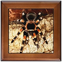 3dRose ft_86584_1 Mexican Red-Kneed Tarantula Spider, Mexico-Sa13 Aje0001-Adam Jones-Framed Tile, 8 by 8-Inch