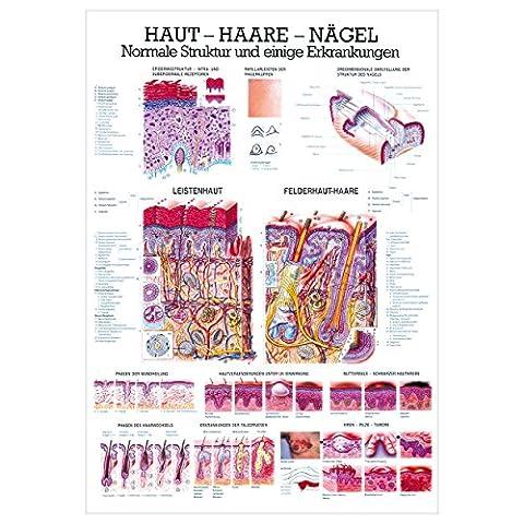 Haut-Haare-Nägel Lehrtafel Anatomie 100x70 cm medizinische Lehrmittel